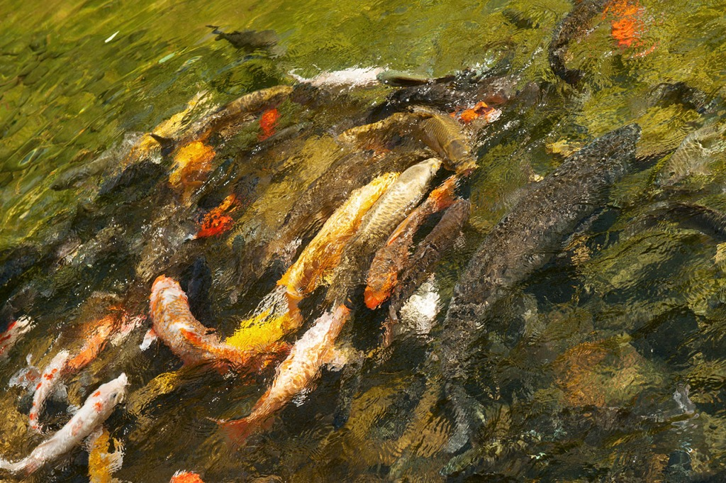 A 'troubling' (group) of goldfish in the lake at Hong Kong Park