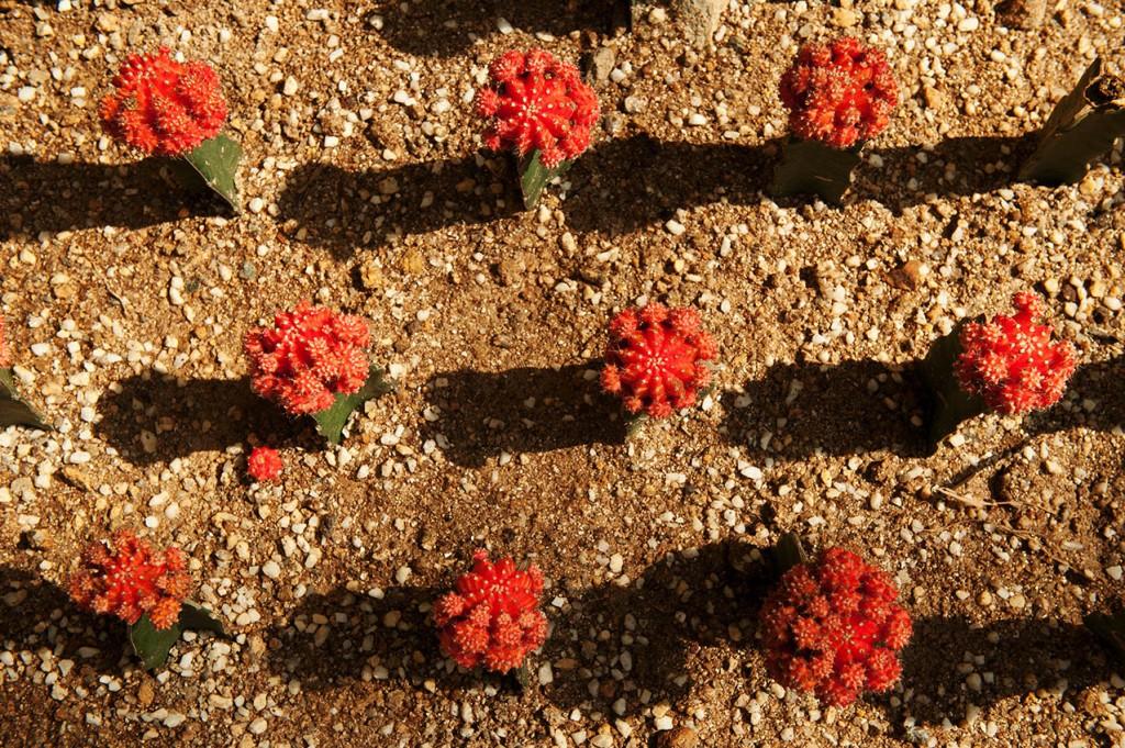 Ruby ball cacti inside Forsgate Conversatory, Hong Kong Park
