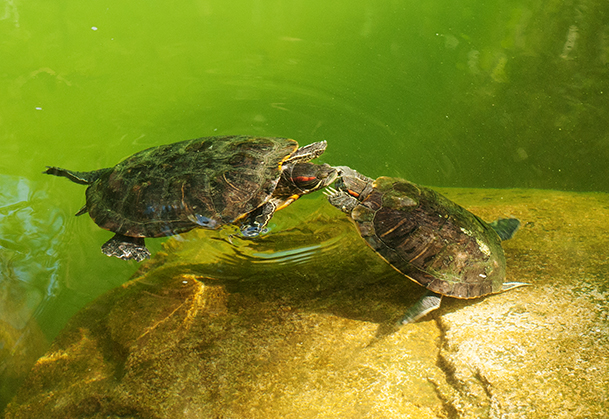 Fluttering claw mating dance between red-eared slider turtles at Hong Kong Park