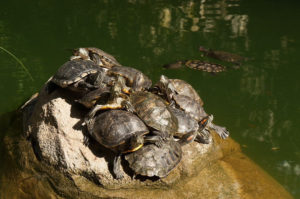 Cluster of turtles catching some rays in Hong Kong Park's lake
