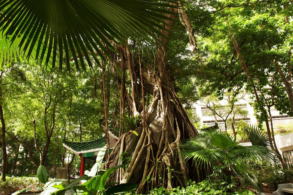 More lush greenery and massive tree roots at Blake Garden in Sheung Wan