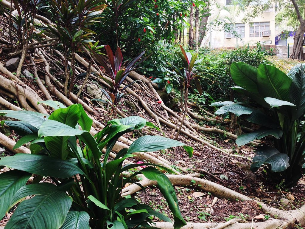 Tropical greenery and ambitious tree roots in Sheung Wan