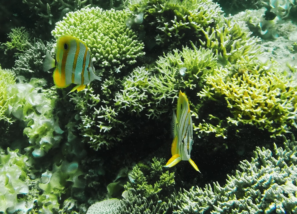 Butteflyfish, one of a number of exotic fish species to be discovered in El Nido