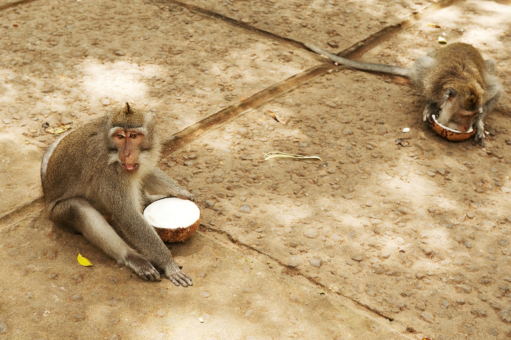 Do yourself a favor, and never sit on a monkey's coconut lunch! (Ubud, Bali)