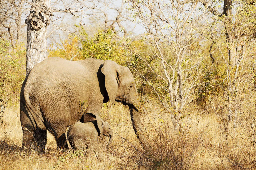 A gentle giant (and her mini-me) in Londolozi, South Africa