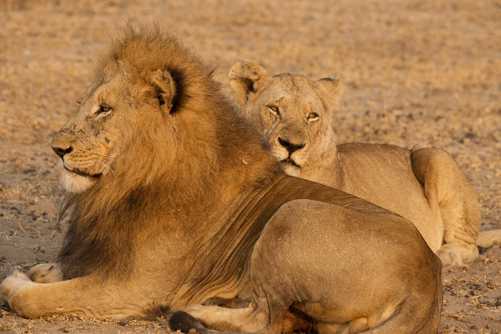 An unforgettable experience - observing lions in their natural habitat in Londolozi, South Africa