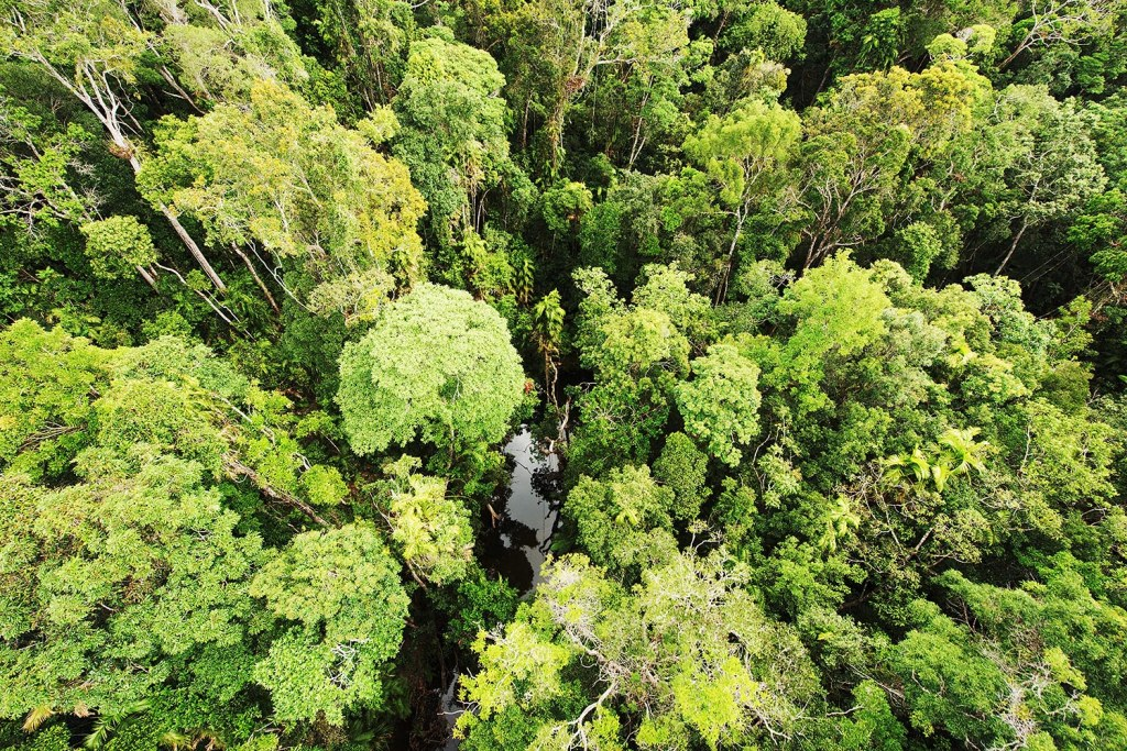 The tree canopy over Daintree Rainforest