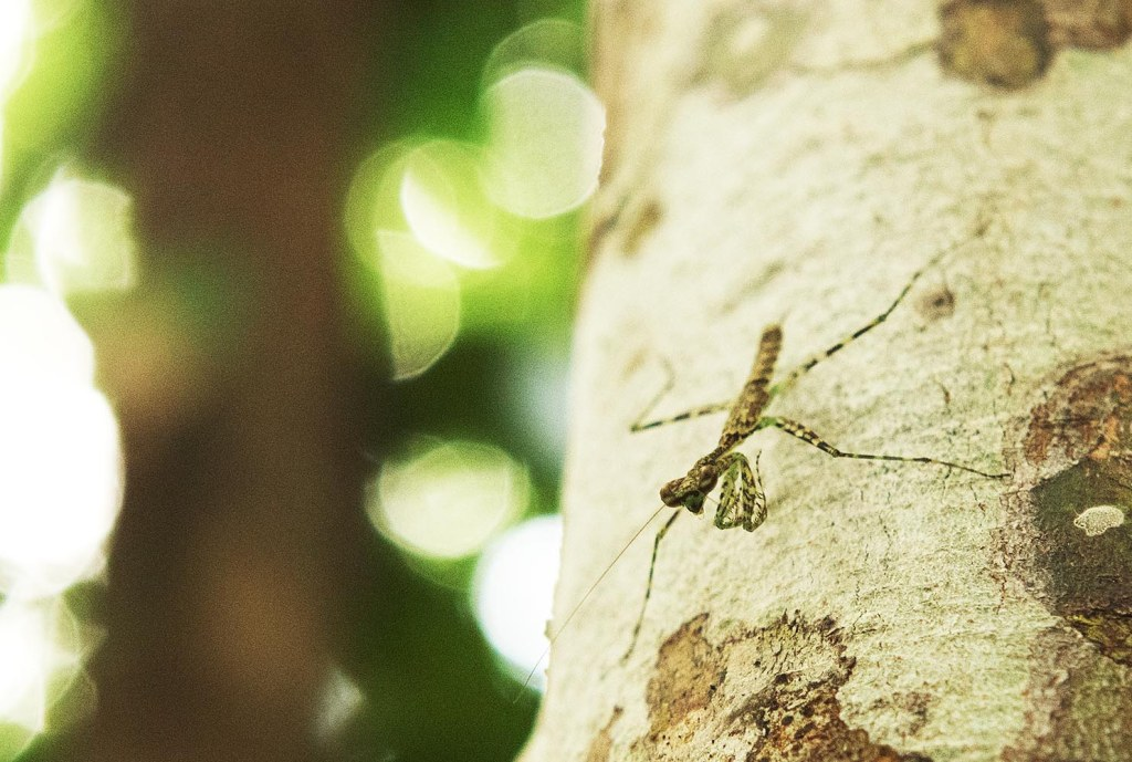 A praying mantid (perhaps more specifically a praying mantis) lingering on a tree in Daintree