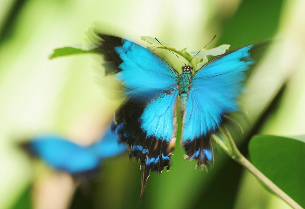 The kinetic, frenetic Ulysses butterfly - gorgeously blue and almost impossible to photograph, as she never sits still