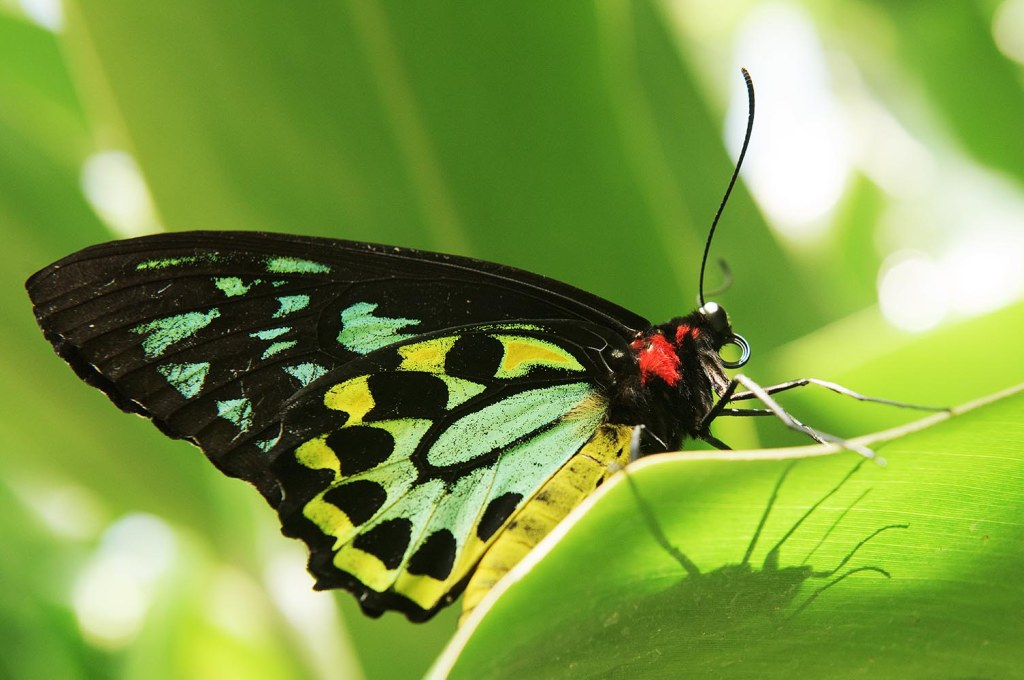 A stunning birdwing butterfly with her silhouette