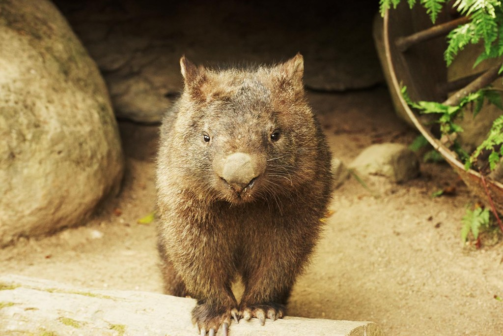 That other adorable, underappreciated, Australian icon - the wombat!